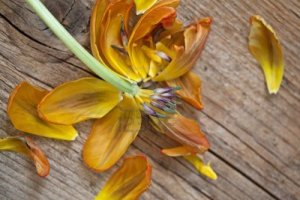 8808866-withered-yellow-tulip-flower-on-wooden-board